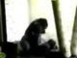Gorillas having sex in the zoo